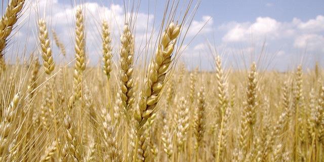 ساہیوال، شدید بارشوں سے کھڑی گندم کی فصل کو نقصان کا خدشہ