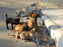 گنجان آباد علاقہ کھاری بسین آوارہ کتوں کی آماجگاہ بن گیا