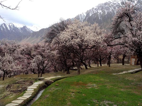 ہنزہ، کریم آباد میں خطرناک کیڑے درختوں پر حملہ آور، پھول مکمل کِھلنے سے قبل ہی گرنے لگے