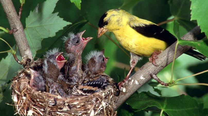 پرندے گھونسلے کیوں بناتے ہیں؟