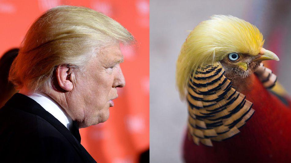 тръмп птица китай фазан