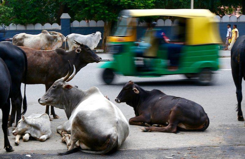 Улични крави в Бангалор ©EPA/БГНЕС