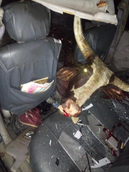 Stray Cow Dies After Crashing Into Car In Sapele