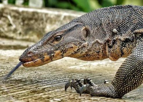 Why Urhobo Community Of Orogun   Worships Iguana And Dog