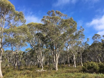 Gum trees on the road as he traveled around Tassie