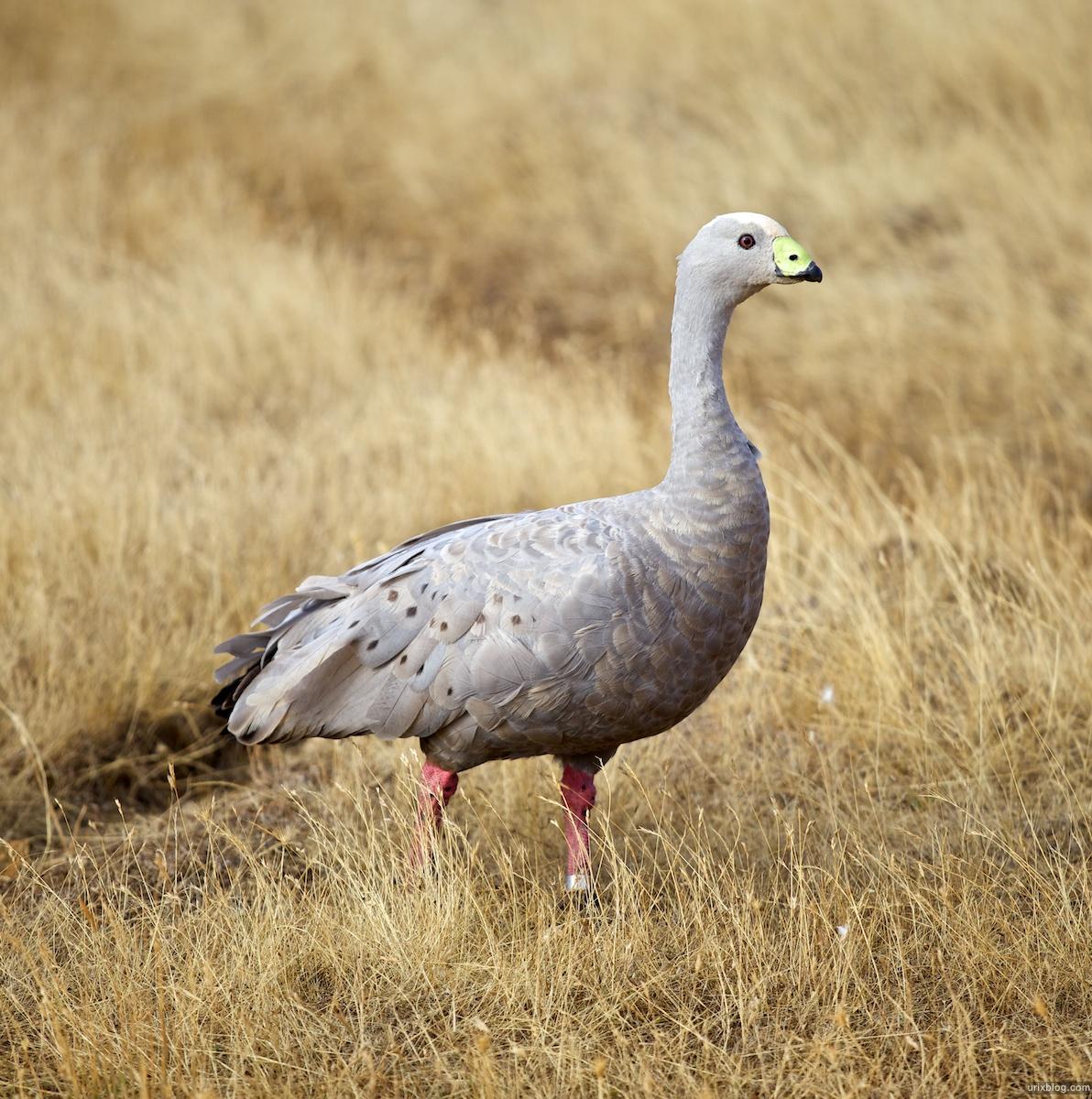 2011 2010 South Australia, Kangaroo Island, Остров Кенгуру, Южная Австралия, goose, гусь