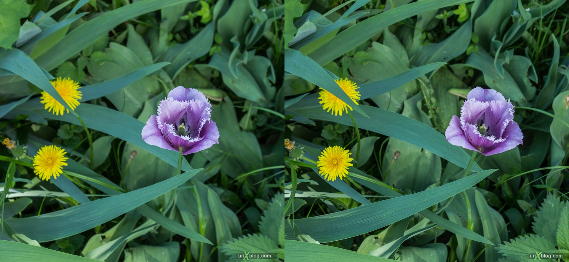 2013, tulip, dandelions, flower, grass, park, field, Moscow, Russia, spring, 3D, stereo pair, cross-eyed, crossview, cross view stereo pair, stereoscopic