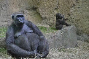 gorilla9793-1452682031-38.jpg
