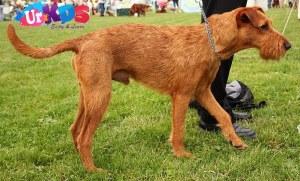 Irish Terrier Dog