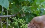 Manisada Bağlarda Ölükol Hastalığına Karşı Mücadele Seferberliği