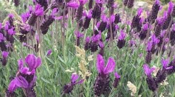 Doğal Şifa Kaynağı Ama Sadece Çiçek Olarak Görülüyor