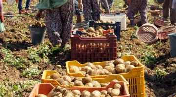 Ödemiş Patatesinde Hızlı Fiyat Düşüşü