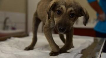 Açlıktan Yürüyemeyen Yavru Köpeğin Tedavisine Başlandı