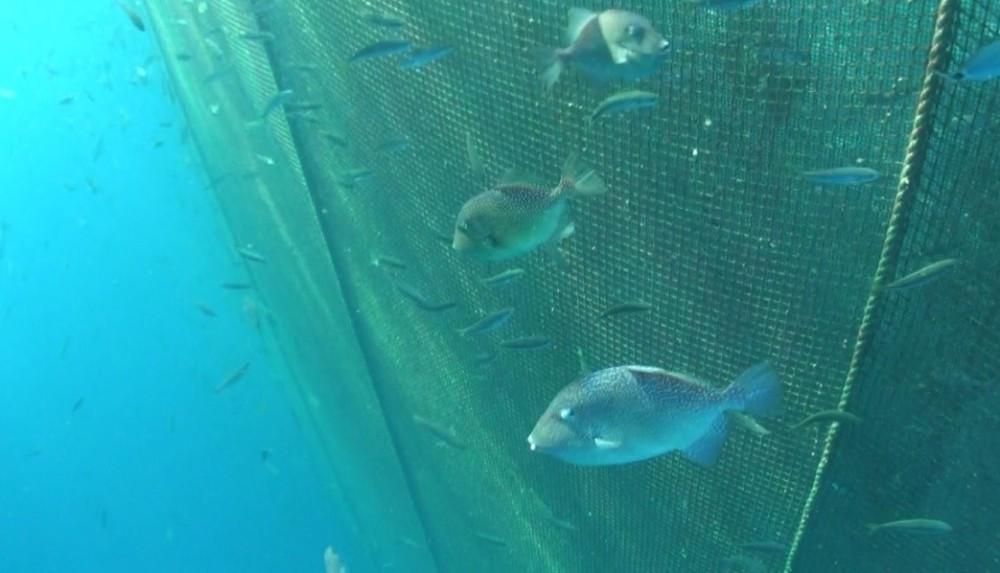 Egeli Bilim İnsanları Balık Çiftliklerinin Tuhaf Misafirlerini Araştırdı