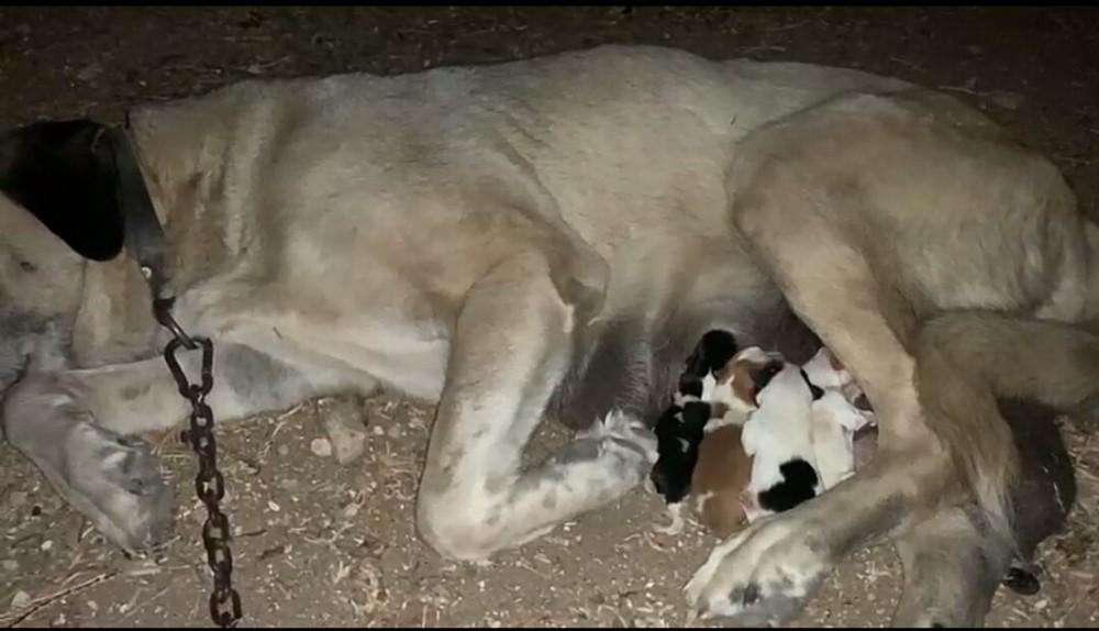 Annesiz Yavruları Anadolu Çoban Köpeği Besliyor