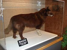 Balto im Museum von Cleveland