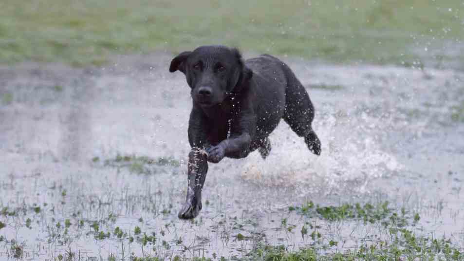 Lizenz freie Labrador Bilder
