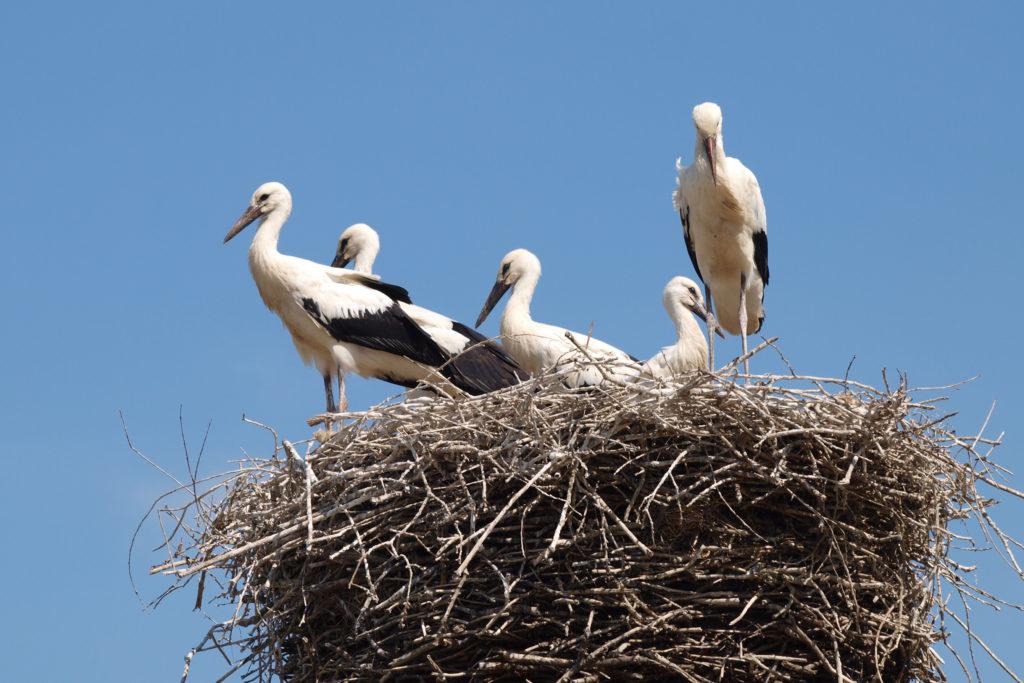 Ein Rendezvous mit dem Storch: Selten gewordene Tierarten lassen sich in der Winsener Elbmarsch und der Lüneburger Elbtalaue zuhauf erleben.