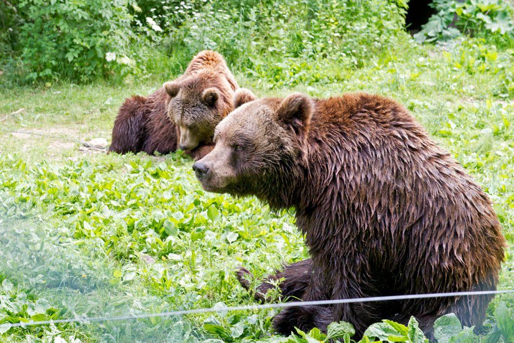 Neue Heimat für Bären, viel Wissenswertes für die menschlichen Besucher: Im Sommer eröffnet in der Schweizer Bergwelt das Arosa Bärenland - Nachhaltig und naturnah reisen in den Alpen