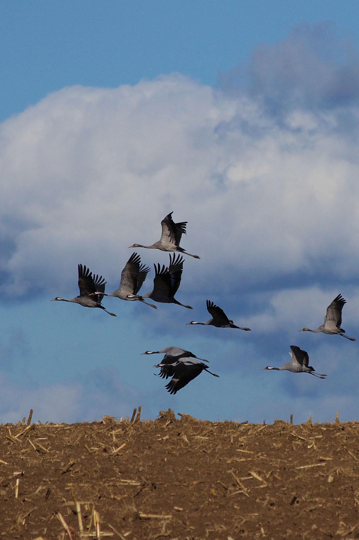 Weithin ist der Ruf der Kraniche zu hören, die im Formationsflug auf ihrem Weg gen Süden im Unteren Odertal rasten.