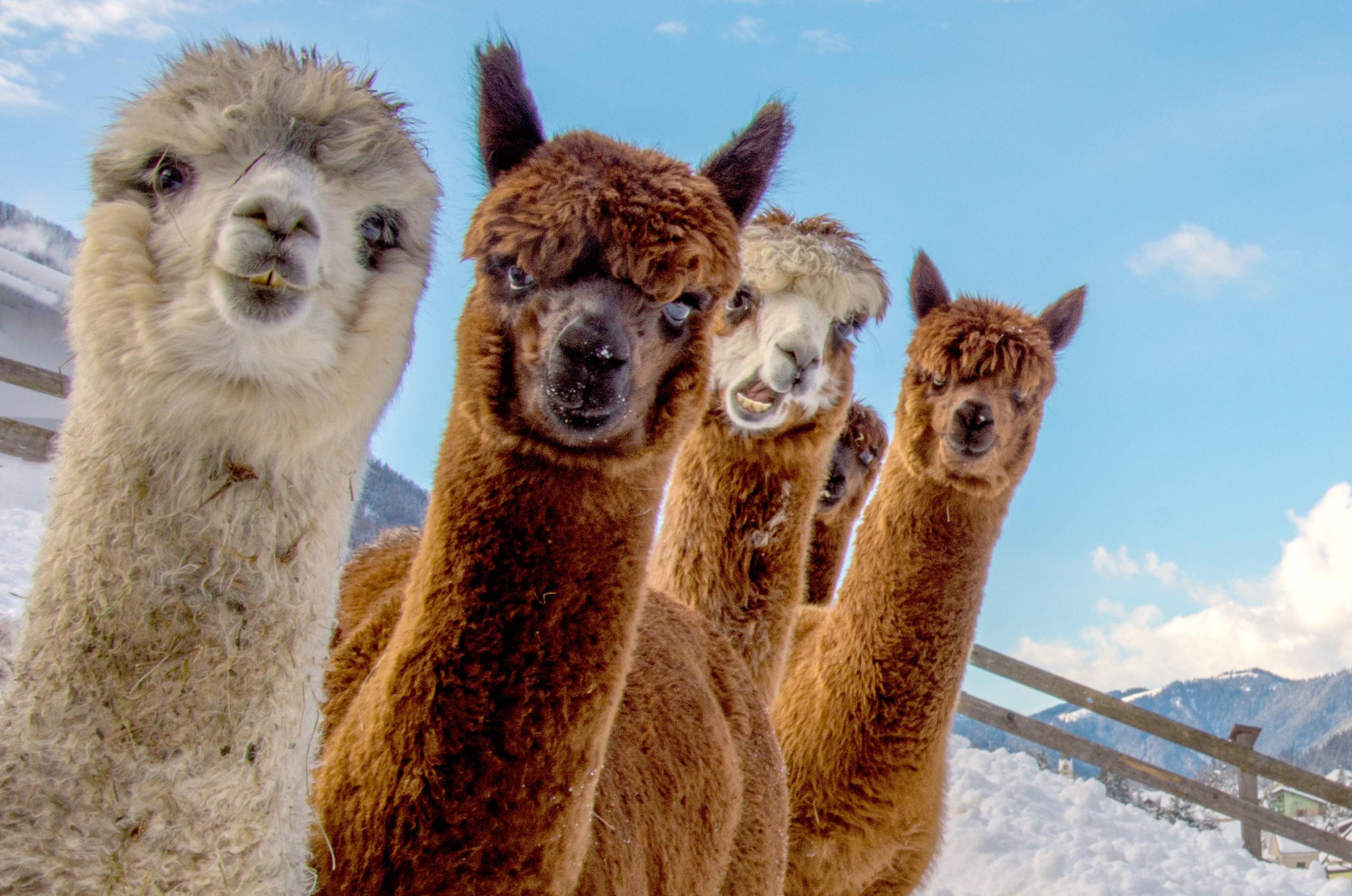 Kärntner Wintererlebnisse mit Alpakas