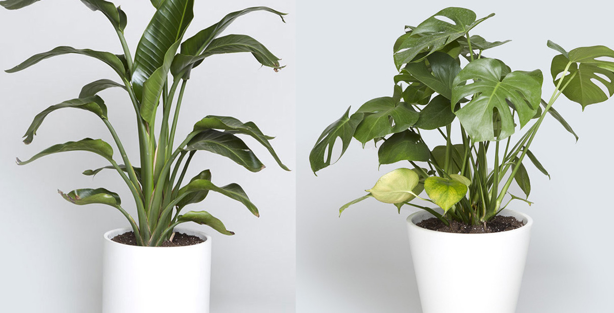 Indoor Tree Options You Can Grow Using A Bios Urn Biodegradable Urn