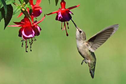 cremation-urn-theme-hummingbirds.jpg