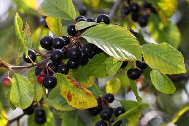 Травы от которых быстро худеют. Народные рецепты для похудения. Шалфей для похудения