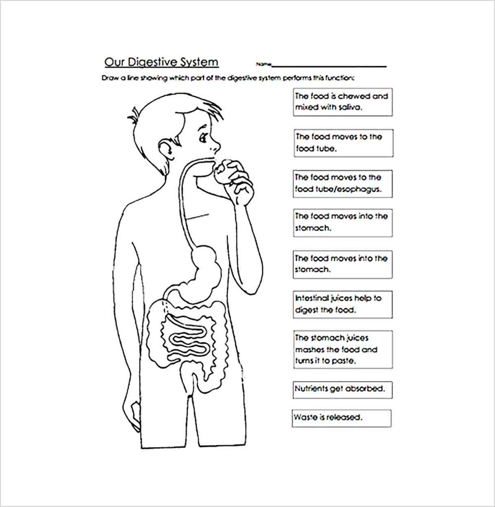 medium resolution of Digestive System Worksheet Packet   Printable Worksheets and Activities for  Teachers