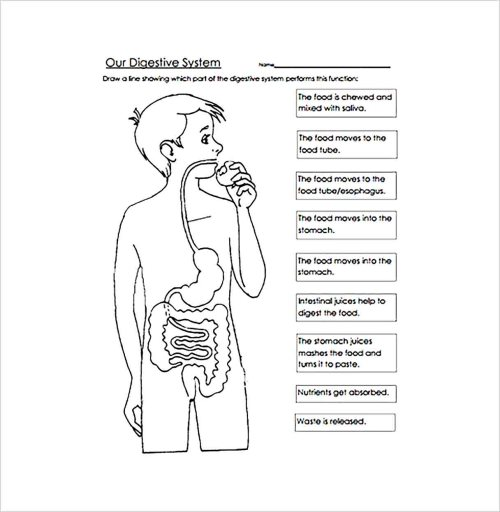 small resolution of Digestive System Worksheet Packet   Printable Worksheets and Activities for  Teachers