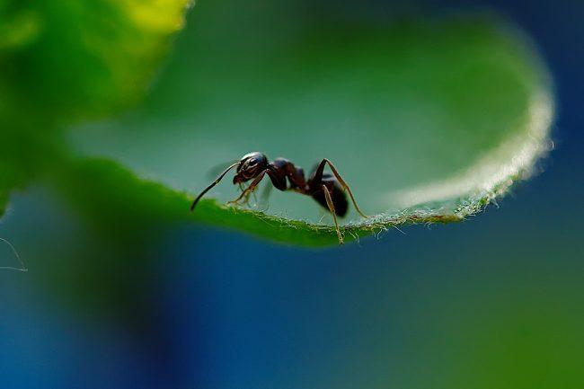 Milingona, një insekt i pazakontë