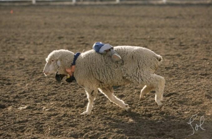 olahraga aneh - Rodeo Anak Kecil