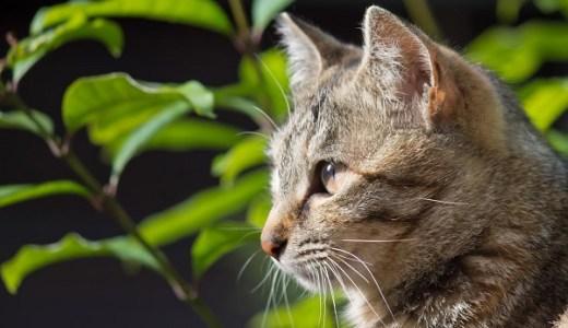 猫の真菌症(皮膚糸状菌症)の原因と症状、治療や費用は?