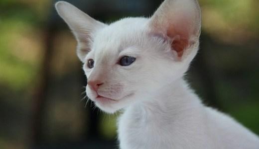 猫の花粉症が急増中!くしゃみや目やにの治療と予防対策は?