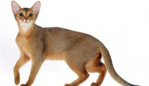 アビシニアンってどんな猫?野性的な外見の特徴と性格や値段!
