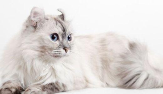 アメリカンカールはどんな猫?カール耳の特徴や性格と値段!