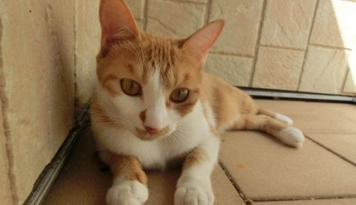 猫の皮膚のシコリは80%はガン!悪性度の高い腫瘍と特徴は?