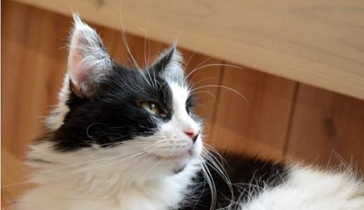猫の毛球症・毛玉(ヘアボール)の原因や症状と予防法は?