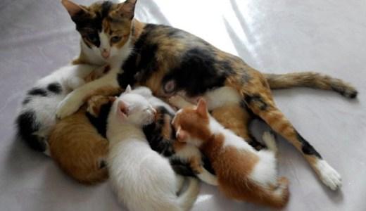 猫の妊娠と出産の流れ!兆候や陣痛,異常時の介助,事前準備など!
