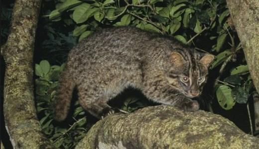 イリオモテヤマネコ減少,絶滅危惧,保護の現状!家猫との違い!
