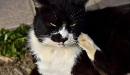 猫のノミ,ダニ,シラミなど皮膚に付く寄生虫の画像や症状!