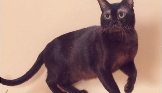 猫のバーミーズの特徴や相場価格は?順応性が高く慈悲深い!