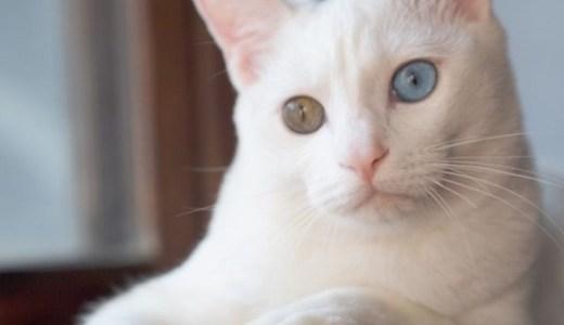 白猫のオッドアイは耳に障害(難聴)がある?その原因や確率は?