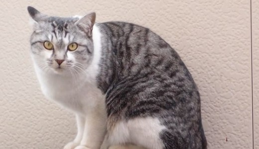 猫の糖尿病!高血糖、低血糖時の症状と治療や対処法は?