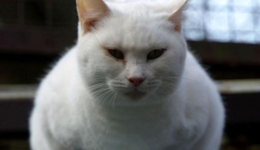猫の糖尿病!インスリン離脱,寛解が望める食事療法や治療とは?
