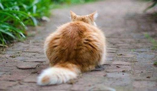 猫が尻尾を痛がる,触られるのを嫌がる!考えられる原因は?