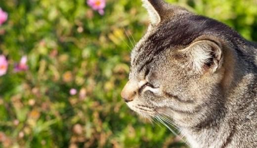 猫が花粉症で食欲不振に?原因や治療と注意するべきこと!