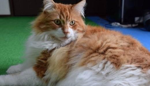猫の心筋症!遺伝,先天性に多い猫種と兆候や早期発見の方法!