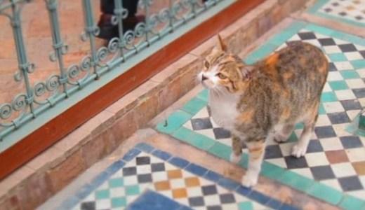 モロッコで猫観光!青い街シャウエンやマラケシュで猫まみれ!