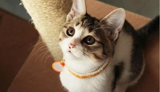 猫の免疫力アップにアガリクスは有効?選び方や注意点なども!